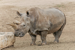 Sweet Nola (ToddLahman) Tags: nola northernwhiterhino rhino tbt worldrhinoday nola4ever sandiegozoosafaripark safaripark safari