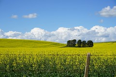 Classic clouds (Murfomurf) Tags: southaustralia landscape spring clarevalley canola rapeseed farm agriculture clouds yellow blue