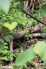 IMG_0420 (trevor.patt) Tags: palauubin singapore monitor lizard