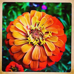 Another roadside attraction. (Kindle Girl) Tags: iphone iphonemacro iphone365 flower orange macro square