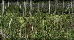 DSC_7386-EditFAA (john.cote58) Tags: fortville green shades cattails pond algae water h2o trees swamp wilderness nature outdoors outside design graphic interiordesign wetland environment wet deadtrees alongi65s landscape indiana