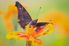 IMG_1342 (N'Grid) Tags: papillon butterfly macro insect insecte bug color fleur flower nature beauty 100mm canon 7d 7dmarkii