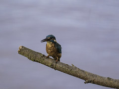Kingfisher5 (lorrainejubb) Tags: kingfisher oldmoor rspb diving catchingfish