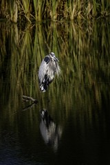 On One (Portraying Life) Tags: michigan unitedstates bird heron handheld nativelighting closecrop
