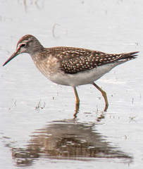 Wood Sandpiper on Jetty Lagoon, Pennington, Hampshire. (dugwin2) Tags: wood sandpiper lower pennington hampshire