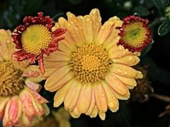 Yellow Flower Macro (hbickel) Tags: yellow flower macro macrolens canont6i canon photoaday pad
