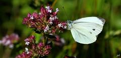 Piride du navet_Pieris napi (nicphor) Tags: rhopalocres papillons piridae pirids pirides faune insectes flore nature fleurs