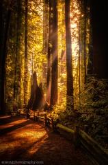 Henry Cowell Redwoods SP, Santa Cruz, CA (Silent G Photography) Tags: california santacruz vertical landscape nikon redwoods 2012 d800 reallyrightstuff henrycowell rrs markgvazdinskas silentgphotography silentgphoto