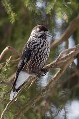 Tannenhaher (Frischbild) Tags: davos rabenvogel tannenhher