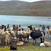 Llama's at the Summit of the Bolivian Death Road