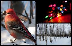 Birds, outdoors, Christmas & of course pictures (cblorenaturefotos) Tags: christmas birds outdoors myfavouritethings ansh malepinegrosbeak scavenger17 anshround41