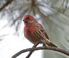 Male House Finch (psiegle) Tags: finch housefinch