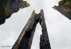 Spires (carbon111) Tags: tree burnt stump ricoh hollow gxr