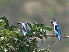 Woodland Kingfisher (Halcyon senegalensis) (ruslou (More off than on)) Tags: nature southafrica woodlandkingfisher halcyonsenegalensis warmbaths ruslou belabela zwartkloofprivategamereserve bosveldvisvanger
