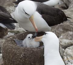 Albatrosses, Falklands. (richard.mcmanus.) Tags: bird chick malvinas falklands tender gettyimages albatross antarctic mcmanus blackbrowedalbatross westpointisland avianexcellence httpwwwgettyimagescouksearchsearchaspxassettypeimagefamilycreativeartistrichardmcmanus