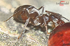 An ant... (torfmauke (peat foot) pausing) Tags: naturaleza macro love nature animal canon insect deutschland hormigas natureza natur natuur inseto ants makro  insekt dier  formigas tier insecte   emsland insecto fourmis niedersachsen mieren  ameisen    dyret   myrer    torfmauke
