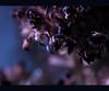 hauntingly (alexandra.major) Tags: flowers blue cold flower colour macro colors beautiful beauty leaves closeup canon eos lights flora hungary colours artistic bokeh decay gorgeous details lilac devotion colourful closeups természet fragile decayed blooming magyarország blueness magyarok művészi szép hauntingly 1000d kékség alexandramajor