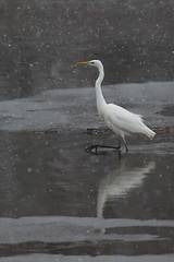Great White Egret @ winter National Park de BiesBosch, The Netherlands. (Richard Verroen) Tags: park winter white snow bird ic