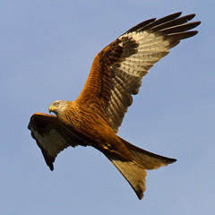 Red Kite (Treflyn) Tags: camera new uk red wild kite bird garden reading photo back wildlife year raptor prey berkshire earley