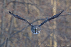 Chouette lapone / Strix nebulosa / Great Grey Owl (RichardDumoulin) Tags: canada bird nature quebec wildlife greatgreyowl oiseau oiseaux chouettelapone strixnebulosa canon500f4 strigid nomickeymouse canon1dmk4