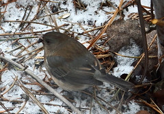 Dark-eyed junco (psiegle) Tags: junco darkeyedjunco