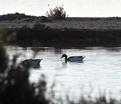 Patos (ibzsierra) Tags: water canon duck agua eau salinas ibiza pato 7d estanque eivissa canard baleares parquenatural