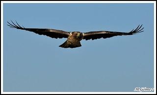 Hiraetus pennata, Aguila calzada