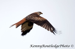 Red Kite (Kenny Routledge) Tags: birds birdsofprey birdwatcher redkite dumfriesandgalloway gallowaykitetrail gallowaywildlife kennyroutledge