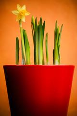 Narciso (Luca Davidian) Tags: life flower still nikon nikkor 70300 f4556 d700