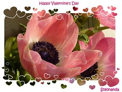 Happy Valentine's Day (solonanda) Tags: pink rosa sanvalentino anemoni masterphotos artisticflowers takenwithlove mindigtopponalwaysontop lovelyflickr coth5 loveliflickr thegoldenachievement goldenachievement rememberthatmomentlevel1 rememberthatmomentlevel2 creativephotocafe dreamlikephotos