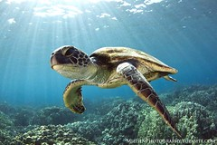 Green Sea Turtle (Jeff Milisen) Tags: ocean life blue sea wild fish cute green nature water beautiful animal island photography hawaii big cool underwater snorkel natural turtle background teeth ngc dive bluewater adorable scuba diving coastal npc hawaiian huge backdrop diver excitement dappled rare gentle enormous pelagic chelonia mydas plankton honaunau megafauna