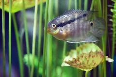 a fishy, candid shot (imago2007 (BUSY)) Tags: atlanta fish canon aquarium georgiaaquarium macrophotography 100mmf28macro imago2007