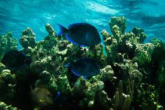 IMG_1687 (Jimmy__T) Tags: fish canon mexico riviera underwater maya sub grand scuba diving snorkeling cenote mexique apnea akumal g12 plongee powershoot photosub apnee