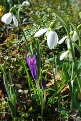 ..... Es Muss Doch Frhling Werden (ivlys) Tags: flowers schnee winter snow macro nature germany blumen crocus snowdrops darmstadt krokus schneeglckchen minigarden ivlys