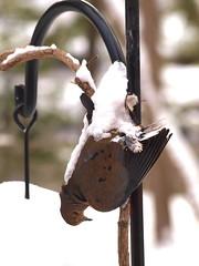 A tragic accident . . . (Dr. Farnsworth) Tags: winter snow bird mi dead foot down hanging wedged upside fernridge shepardshook february2013