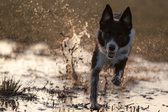 Let's Go! (Explore 2013-02-22!) (Bas Bloemsaat) Tags: dog water action border bordercollie splash