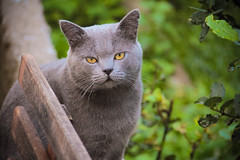 pequeno (deadoll) Tags: cats cute eye love cat canon fur eyes furry kat feline chat dof amor adorable kitty kittens olhos 7d gata felinos felino felines neko katze fofo gatto babys gatti pur gatas canon7d