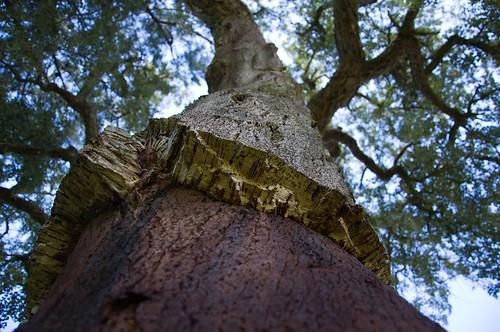 Cork tree ©  Still ePsiLoN