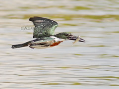 En vol - Martin-pcheur d'Amazonie / Amazon kingfisher - Flying (mitch099) Tags: costa bird nature beauty rio amazon pacific south rica beaut kingfisher oiseau osa sud amazonie pacifique sierpe martinpcheur micheleamyot mitch099