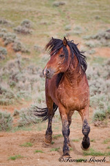 Wild Mustang Stallion Photo E4C3307 (Meghan's Manners) Tags: pictures wild horses horse photography bay photo desert image photos fineart stock picture images photographs photograph prints wyoming stud wildhorses stallion equine equus blm wy trotting posturing wildmustangs hma horsephotos equinephotography horsepictures mcculloughpeaks wildhorsephotos