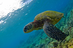 green sea turtle (bluewavechris) Tags: ocean life blue sea brown green nature water animal coral swim canon hawaii marine underwater snorkel turtle reptile wildlife dive shell maui fisheye scales dome reef creature flipper 815 freedive cmtwaterhousing