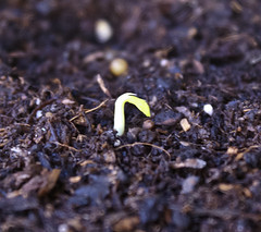 Peas sprouting (chloe & ivan) Tags: peas urbangarden balconygarden hopeforthefuture apartmentgardening mdpd2013 mdpd201303