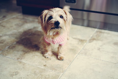 IZZY (lauren s_) Tags: dog cute canon puppy sweater 28mm fluffy terrier tiny doggy paws norfolkterrier snout