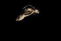 Danse avec la lumire (david galliez) Tags: mer vent lumire sable plage oiseau calais mouette 70200mmsigma nikond700