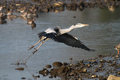 Clear for Takeoff (Tim Geary) Tags: bird heron nikon lough birding d800 larne islandmagee digiscope ballycarry