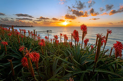 Until the Last Moment (Sairam Sundaresan) Tags: ocean california flowers sunset red orange yellow clouds canon aloe waves sandiego lajolla foliage lajollashores scripps scrippspier sairam scrippsinstituteofoceanography canon5dmarkiii sairamsundaresan