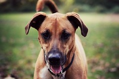 focus. (the fragile.) Tags: portrait dog face smiling mutt mix bokeh boxer doberman panting pinscher rescued
