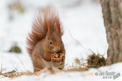Squirrels in winter (Jan Canck) Tags: winter snow nature animals nikon squirrel czechrepublik cz mammals rodents zima d800 sciurusvulgaris zvata proda snh stedoesk mladboleslav hlodavci tpnka veverkaobecn savci nikkorafs70200mmf28gedvrii nikontc20eiii