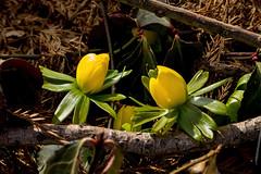 Winter Aconite (cotarr) Tags: leica flowers yellow geotag aconite cameraraw cs6 vlux3 cbgflowers topazdenoise topazdetail iphonemytracks