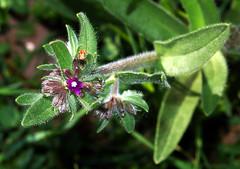 Weiches_Lungenkraut_DSC_1878 (schaefer_rudolf) Tags: pflanze blte pulmonaria boraginaceae wildpflanze rotviolett raublattgewchs lungenkruter